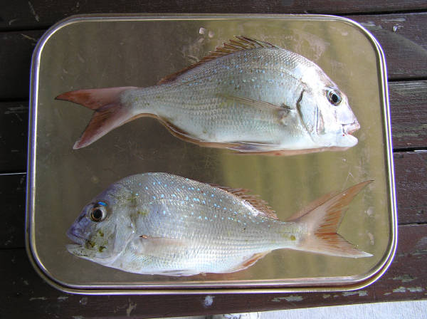 a pair of plate sized snapper