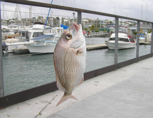 undersize snapper from a jetty